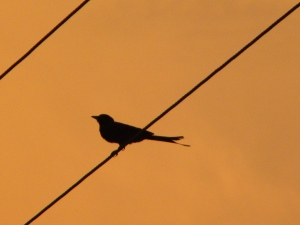 Caught this drongo at sunset